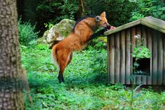 Wolf Eating in zoo in Augsburg in germany stock photography