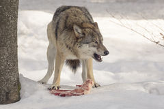 Wolf eats meat Stock Image