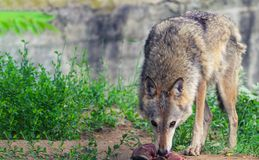 the wolf eats meat at the zoo stock images