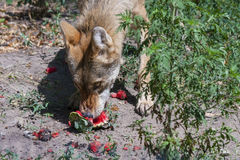 Wolf eats a watermelon Royalty Free Stock Photos
