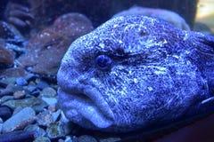 Wolf eel (Anarrhichthys ocellatus) Stock Images