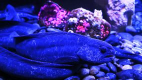 A Wolf Eel close up view stock video