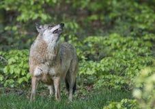 Wolf in een bos stock fotografie