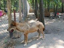 Wolf in een kooi in het beerlandbouwbedrijf dichtbij Veresegyhà ¡ z in Hongarije stock afbeeldingen