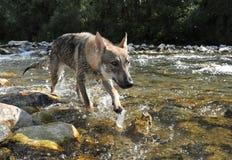 Wolf in einem Fluss lizenzfreies stockbild