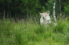 Wolf in einem Gras Stockfotografie