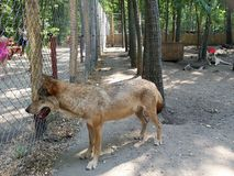 Wolf in einem Käfig im Bärnbauernhof nahe VeresegyhÃ-¡ z in Ungarn Stockbilder