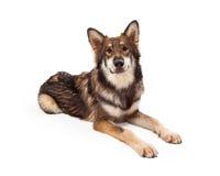 Wolf en Duitse herder Cross Dog Laying royalty-vrije stock afbeelding