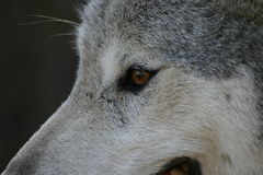 Wolf Eye. Up close and personal with a Canadian grey wolf Royalty Free Stock Images