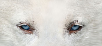 Wolf eyes. Blue eyes of a wolf-like dog Stock Photo