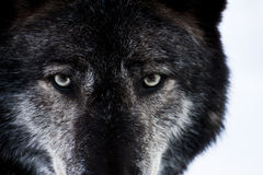 Wolf Eyes Royalty Free Stock Images