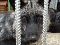 Wolf Eyes Lizenzfreie Stockbilder