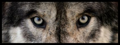 Wolf eyes. A wolf eyes close up stock image