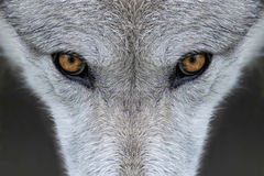 Wolf eyes. Closeup of the eyes of a wolf in Yellowstone National Park, Wyoming Royalty Free Stock Photography