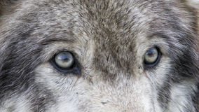 Wolf Eyes. Intense stare of a wolf's eyes Stock Image