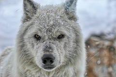 Wolf Eyes que mira fijamente mí imagenes de archivo