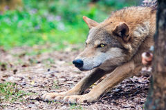 Wolf Royalty Free Stock Images