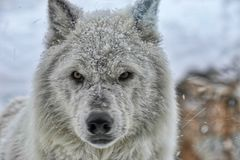 Wolf Eyes staring at me stock images