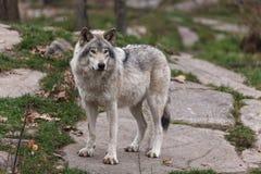 wolf för badlandsdakota nord fotograferad timmer Arkivfoton