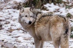 wolf för badlandsdakota nord fotograferad timmer Royaltyfri Bild