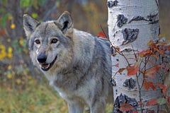 wolf för badlandsdakota nord fotograferad timmer royaltyfria bilder