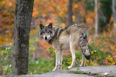 wolf för badlandsdakota nord fotograferad timmer Fotografering för Bildbyråer