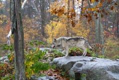 wolf för badlandsdakota nord fotograferad timmer Arkivfoto