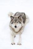 wolf för badlandsdakota nord fotograferad timmer Royaltyfria Foton