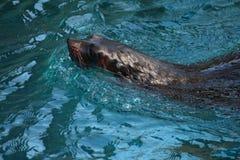 wolf för hav 2 Arkivfoto