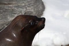 wolf för hav 2 Royaltyfri Fotografi