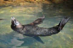 wolf för hav 2 Arkivbilder
