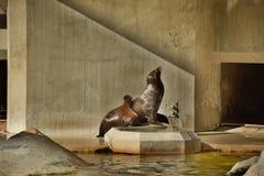 wolf för hav 2 royaltyfri bild