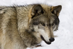 wolf för timmer v Arkivbilder