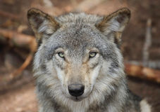 Wolf face in forest. Gray wolf in forest during summer royalty free stock photos