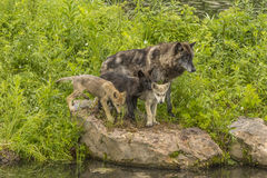 Wolf Family. An adult wolf with two pups standing on a rock Stock Photography