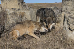 Wolf family with pups at prairie den Royalty Free Stock Photos