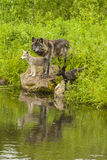 Wolf Family Reflection Royalty Free Stock Photography