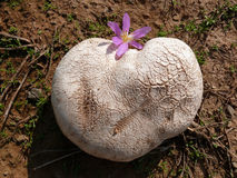 Wolf with autumn crocus. Wolf mushroom and autumn crocus flower together stock photography
