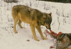 Wolf Feeding On Deer Carcass Stock Photo