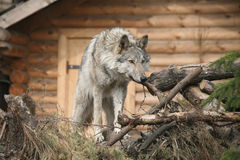 Wolf female. Wolf standing on pile of firewood Stock Photos