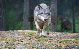 Wolf. A female wolf walking on a cliff Stock Images
