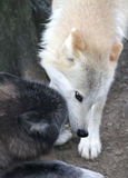 Wolf Fight Royalty Free Stock Photography