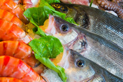 Wolf-fish με τις γαρίδες Στοκ Εικόνες