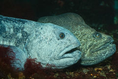 The wolf-fish Stock Photo