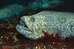 The wolf-fish. The Atlantic wolffish (Anarhichas lupus), also known as the Seawolf, Atlantic catfish, ocean catfish, wolf eel stock image