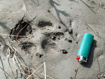 Wolf Foot Print. A lighter is placed next to an arctic wolf's foot print in mud along the Horton River in Canada's Northwest Territories Stock Image