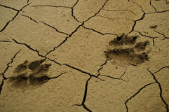 Wolf footprint Royalty Free Stock Image