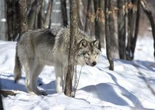 Wolf in forest. Gray wolf in forest during winter Stock Photos