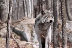 Wolf in forest. Grey wolf in forest during summer Stock Image