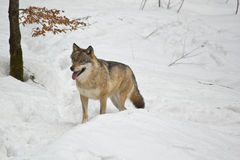 Wolf in the forest. Wolf resting in the winter forest Royalty Free Stock Image